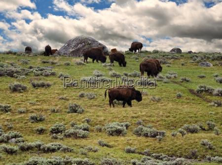 animal alimentar bisonte bufalo montanya