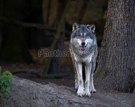 lobo, gris - 6016323