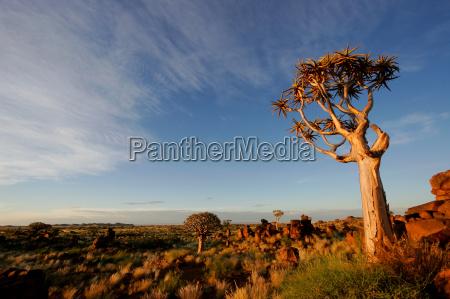 arbol namibia aloe paisaje naturaleza las