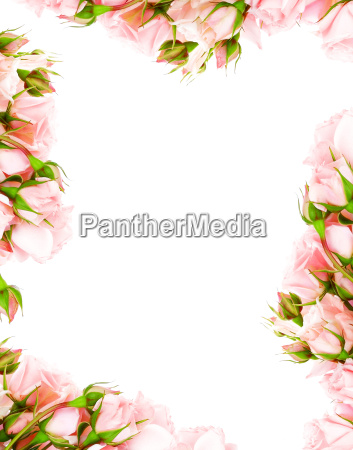 marco de rosas frescas