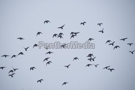 pajaro los animales aves enjambre azul