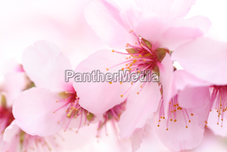 las delicadas flores de la cereza