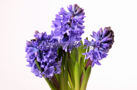 hyacinth flowers gift