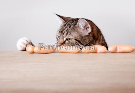 hambre cadena hambriento wiener gato salchicha
