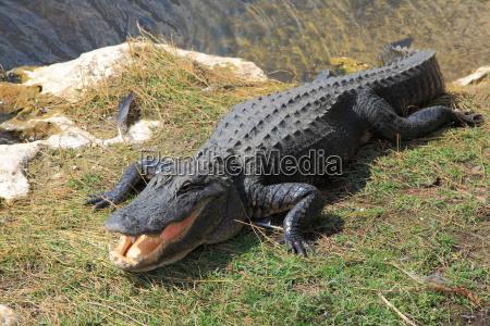 peligro reptil pantano cocodrilo caiman de
