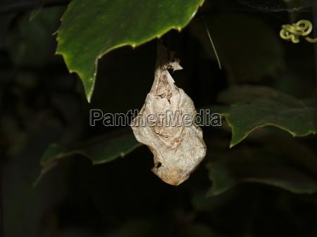 insecto mariposa ala polilla capullo desarrollo