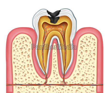 diagrama de anatomia interna del diente