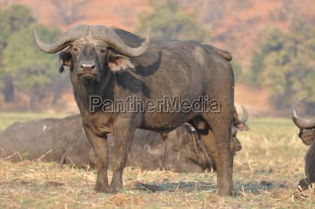 parque nacional africa safari bufalo botswana