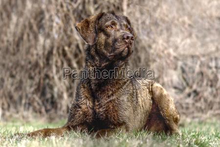 los animales perro perros labrador