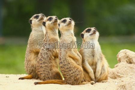 precioso grupo de suricatas suricata sentarse