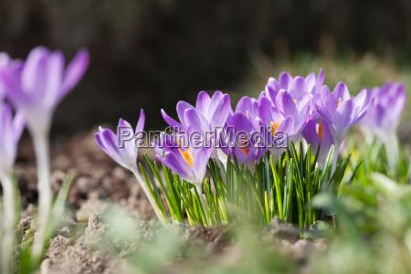 los azafranes purpuras