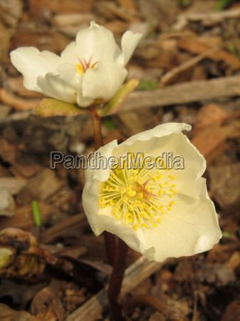 flor planta rosa primavera christian rose