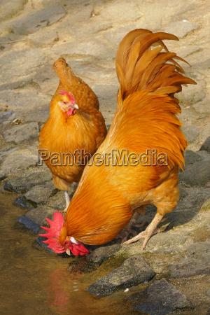 pollo sajonia