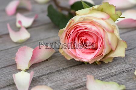 rose con los petalos de rosas