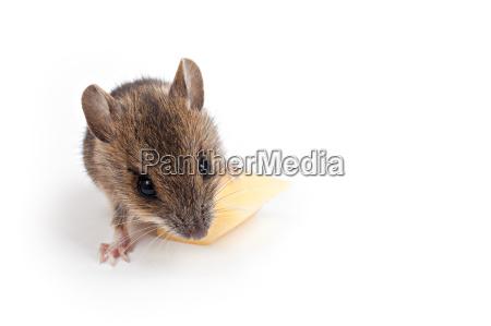 raton con queso exento de blanco