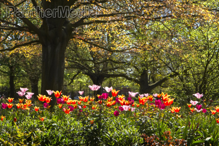 colorful tulips and old red leaf