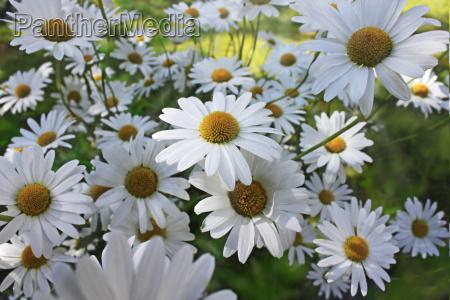 daisies on sunny meadow