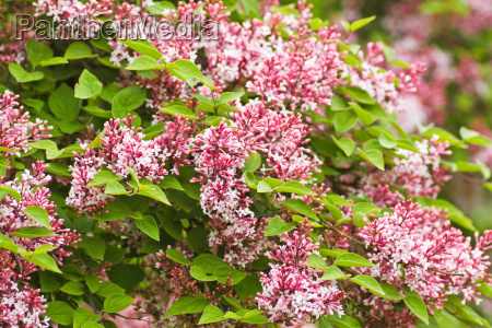 tiny fragrant pink syringa microphylla flowers