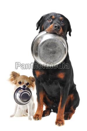 rottweiler chihuahua y plato de comida