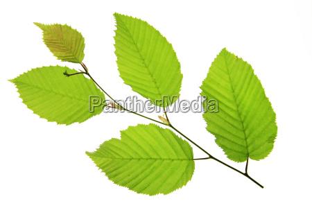 hainbeech carpinus betulus