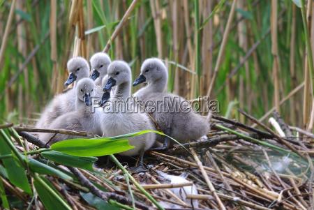 medio ambiente pajaro los animales cisnes