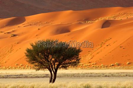 arbol africa hierbas africano acacia prado