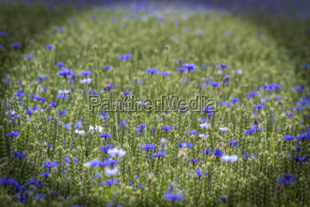 cornflowers in wheat field bavaria