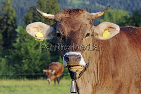 montanyas alpes baviera vaca ganado bovino