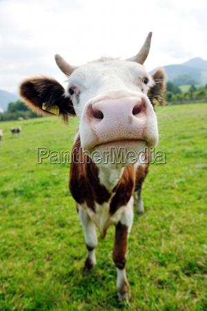 animal de vaca en el campo