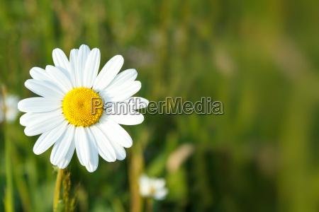 marguerite flores blancas