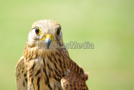 cernicalo falco tinnunculus