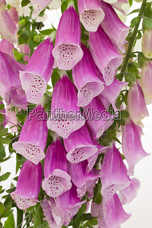 closeup of digitalis