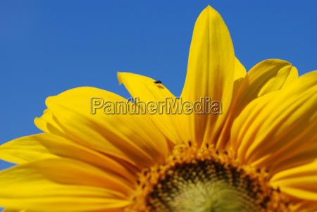 azul flor girasol planta volar luz