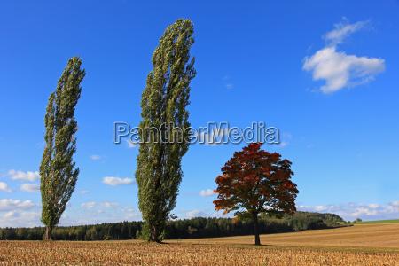 arbol arboles campo arce alamo prado