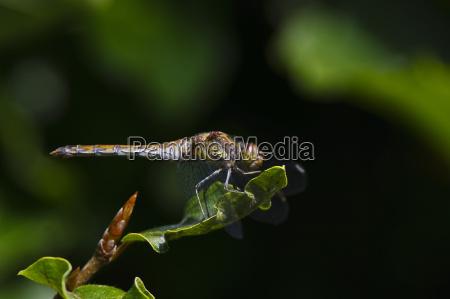 common darter sympetrum striolatum