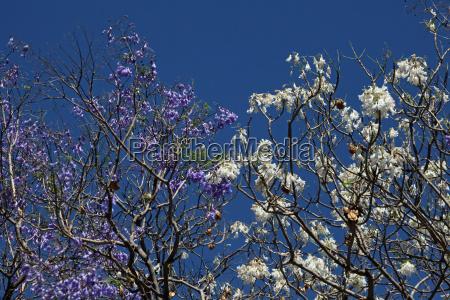 jacaranda blanca y azul