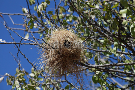 nido de pajaro weber de mahaliwebers