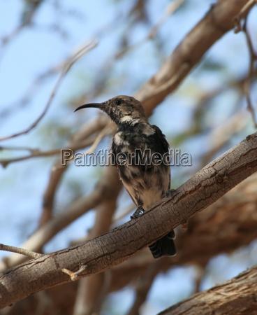 africa namibia colibri