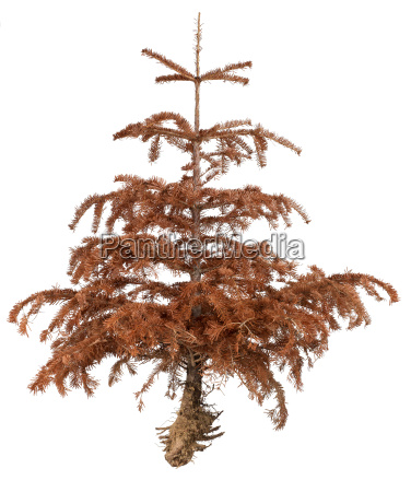 medio ambiente muerte arbol pino ramas