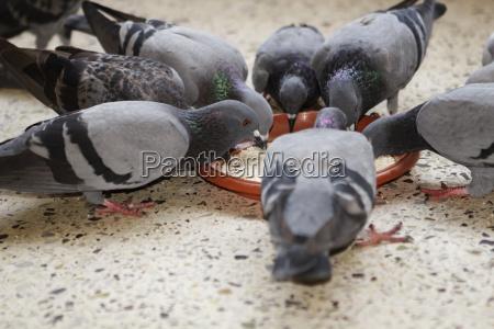 grupo de palomas compartiendo comida