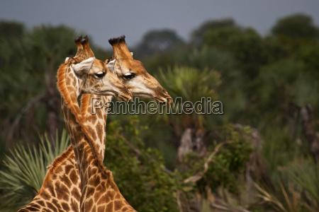 animal africa jirafa