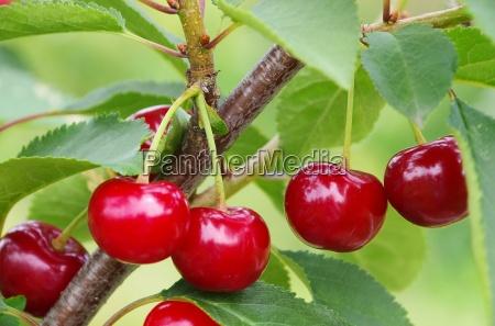 arbol rama cereza agrio