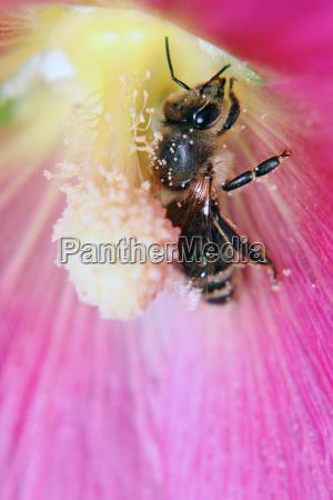 a hard working honeybee