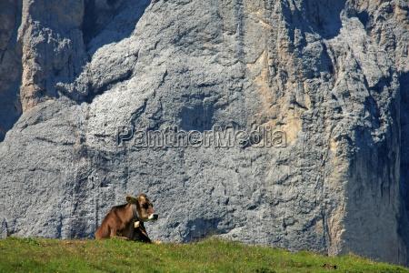 animal alpes ver vaca alpino