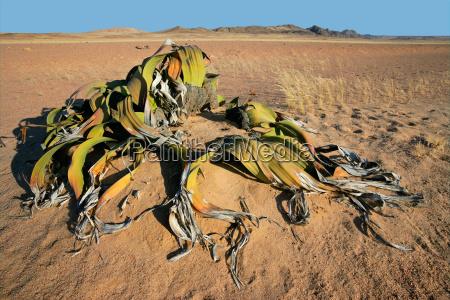 welwitschia desierto de namib