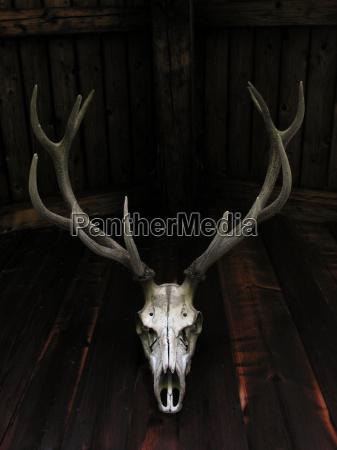 skull bone deer deer stag hunting