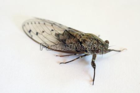 insecto cricket cigarra chirrido singzikade cicadidae