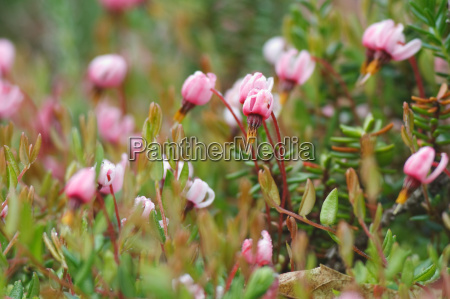 flowers of the common cranberry