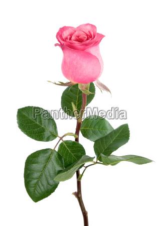 adorable rose en rosa en blanco
