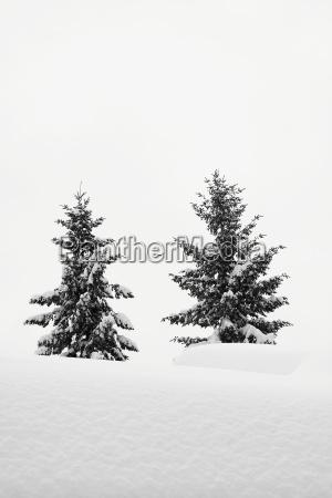 arbol invierno abeto nieve conifera paisaje